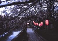 BRONICA ETR-Siで撮影した(桜祭り)の写真(画像)
