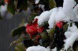 雪椿  DSC_0808