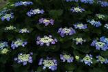 紫陽花三昧