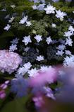 紫陽花の星