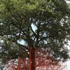 キセイ・樹