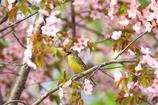 アオジ殿桜(*^-^*)