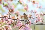 ノビ桜(*^-^*)