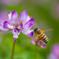 レンゲと蜜蜂