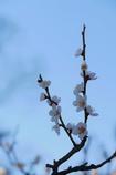 京都 智積院 梅の舞い