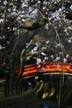 京都 北野天満宮 春の鶯橋