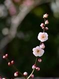 京都 北野天満宮 紅梅の舞い