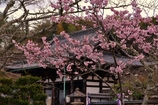 滋賀 石山寺 櫻