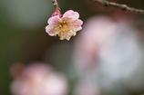 京都 京都御苑 梅