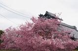 京都 長徳寺 桜
