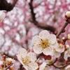 岡山 後楽園 春の訪れ