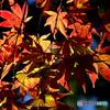 茅ヶ崎中央公園の紅葉(1)