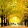熊本県庁銀杏並木
