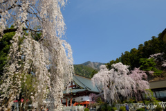 身延山・久遠寺のしだれ桜