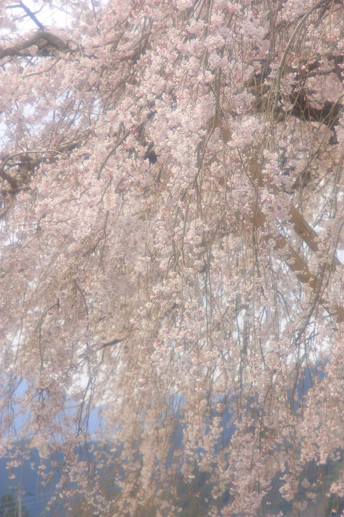 桜、滝の如く
