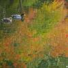鴨カップルの紅葉狩り