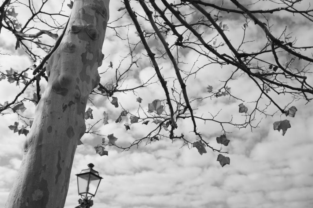 うろこ雲と白樺の木