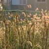 エノコロ草