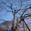 吉田枝垂桜