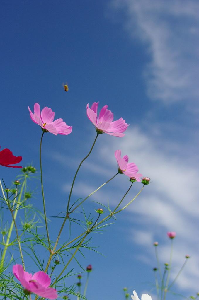 コスモスさんと蜂くんの秋の雲