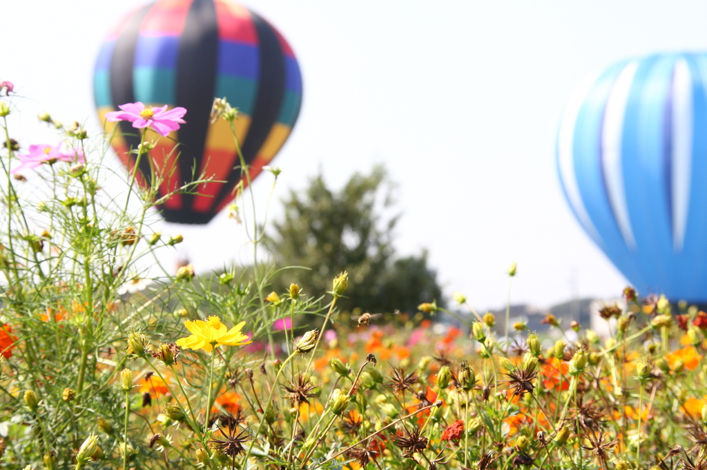 コスモスと熱気球