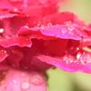 薔薇の水玉
