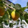 北海道の柿