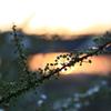 夕日に雪柳