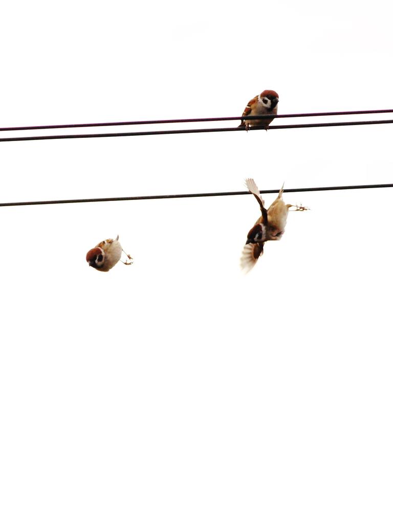 Sparrow Dive!