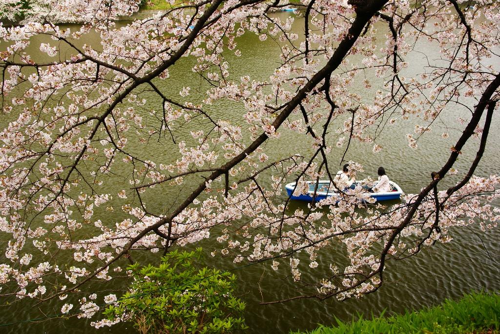 桜を愛でる人たち