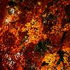 小石川後楽園の紅葉1