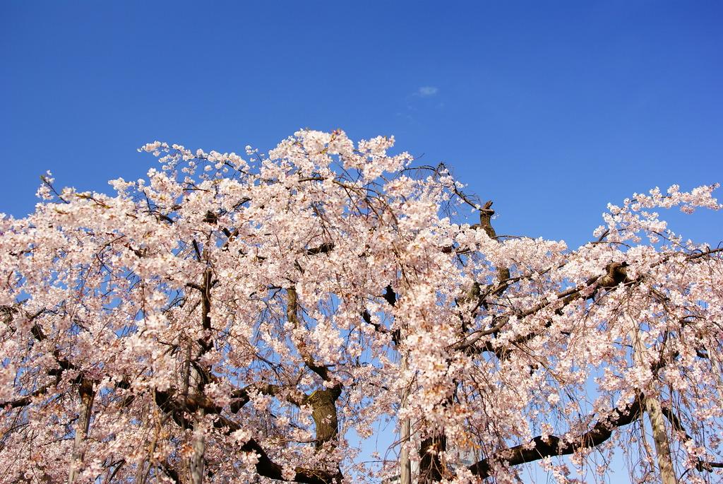 空の青と桜の白
