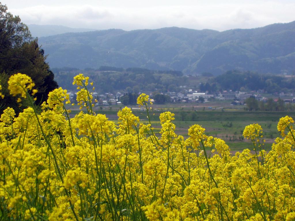 菜の花畑(野沢菜)