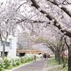 川辺の桜(その5)