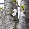 川辺の桜(その2)