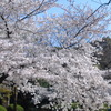 桜 こぼれおちそう・・・