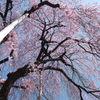 慈雲寺の桜_2