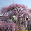 慈雲寺の桜_4