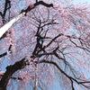 慈雲寺の桜_6