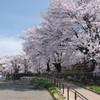 甚六桜_4
