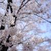 甚六桜_2