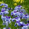 花しょうぶ園 -1-