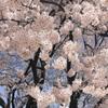 押し寄せる桜