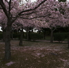 2010 散りゆく桜