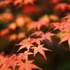 2010 紅葉狩り ~赤もみじ2~