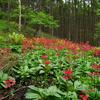 クリンソウの咲く森
