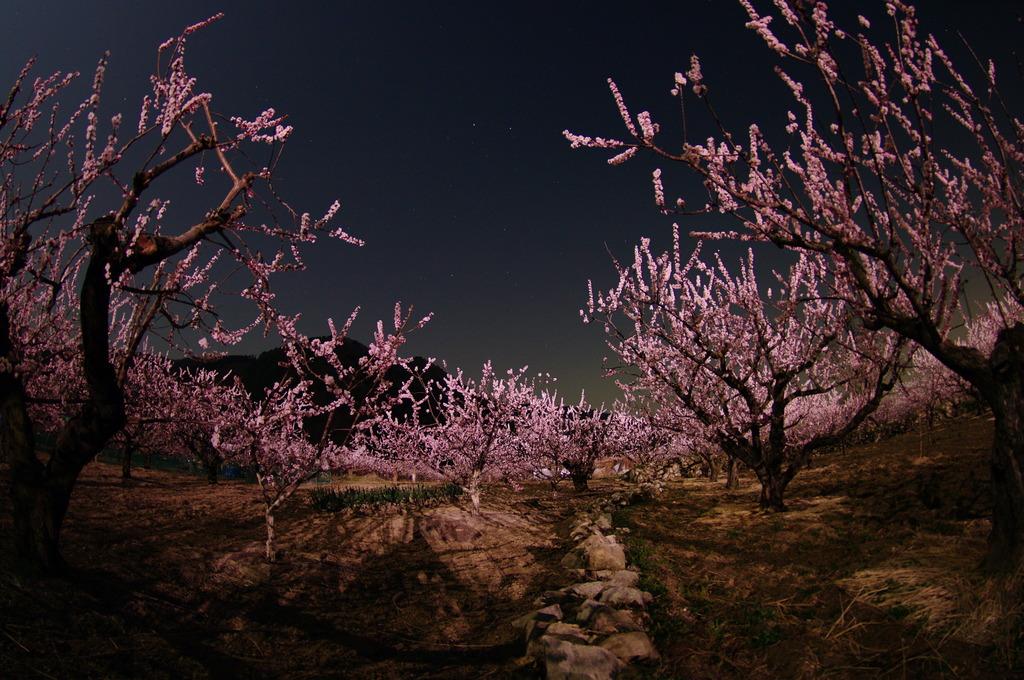 月夜のあんず畑