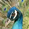 花鳥園 孔雀