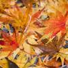 濡れた紅葉絨毯