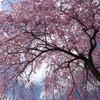 法金剛院満開の桜